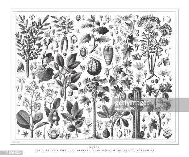 illustrations, cliparts, dessins animés et icônes de diverses plantes, y compris les membres de la sumac, spurge et gourde familles gravure antique illustration, publié 1851 - plante tropicale