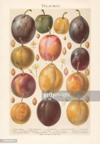 Various plums with blossoms and plum stones, chromolithograph, published 1897