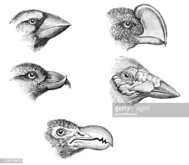 various types of bird beaks - 19th century - beak stock illustrations
