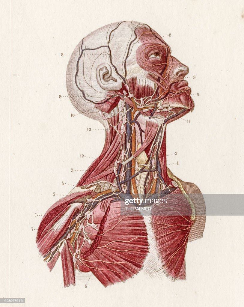 Vascular System Anatomy Engraving 1886 Stock Illustration | Getty Images