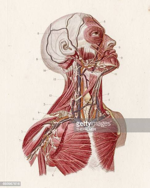 Lymphatic System Stock Illustrations And Cartoons Getty Images