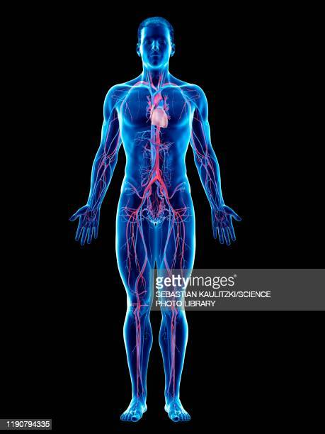 vascular system, illustration - anatomy stock illustrations