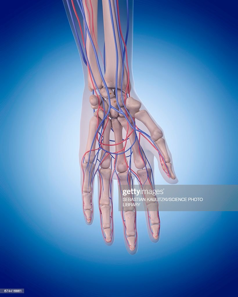 Vascular System Of Hand Stock Illustration   Getty Images