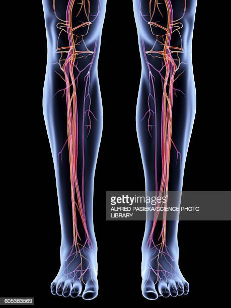 Vascular system of the legs, artwork