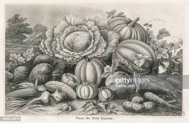 vegetable garden engraving 1873 - white cabbage stock illustrations, clip art, cartoons, & icons
