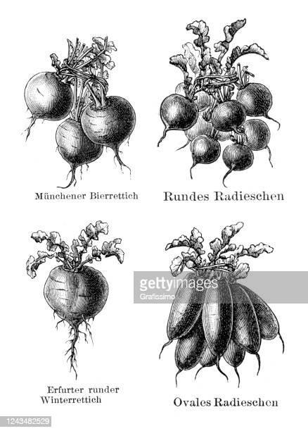 vegetable radish charlock illustration 1897 - crucifers stock illustrations