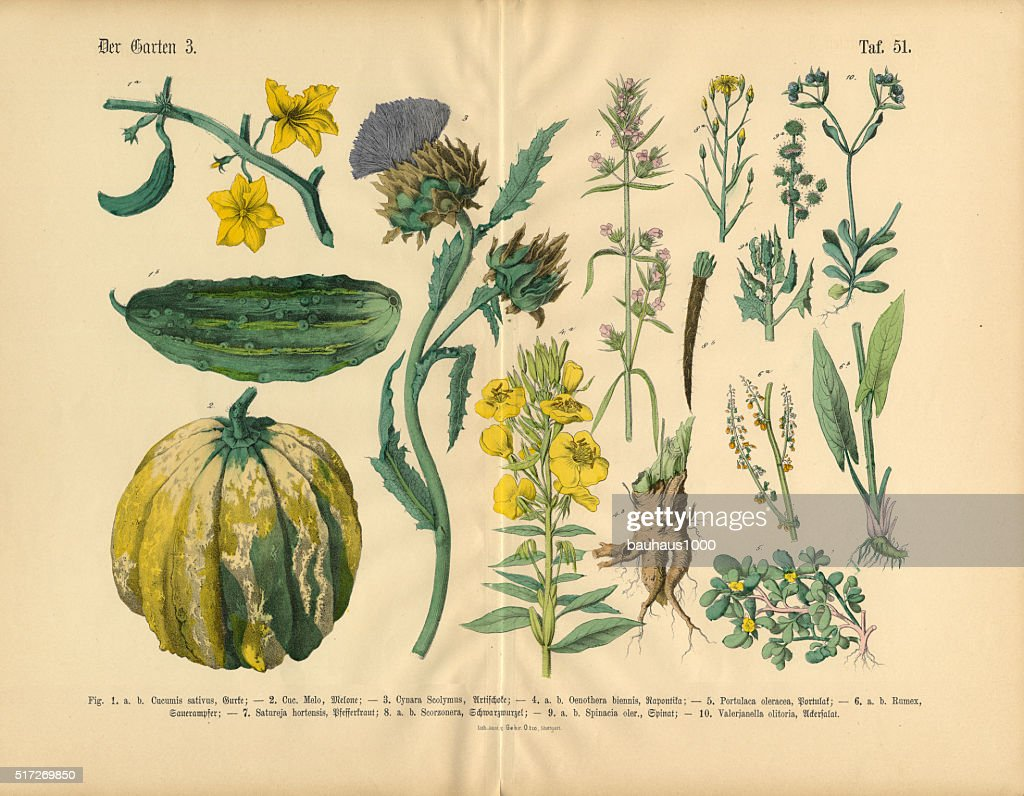 Vegetables And Flowers Of The Garden Victorian Botanical
