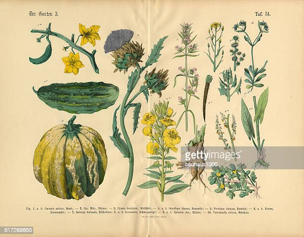 vegetables and flowers of the garden, victorian botanical illustration - cucumber stock illustrations, clip art, cartoons, & icons