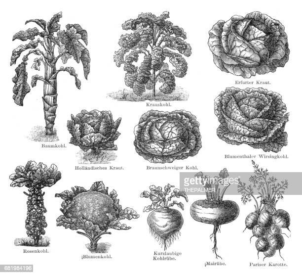 vegetables engraving 1895 - brussels sprout stock illustrations, clip art, cartoons, & icons