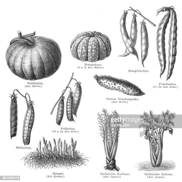 vegetables engraving 1895 - bean stock illustrations