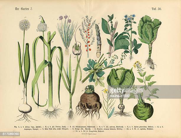 vegetables, fruit and berries of the garden, victorian botanical illustration - history stock illustrations