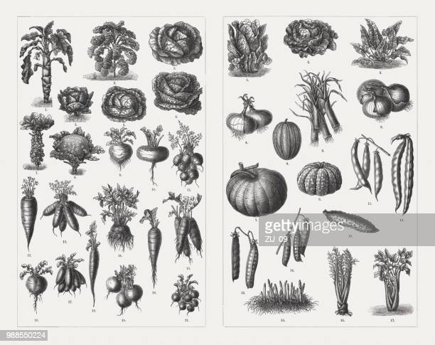 vegetables, wood engravings, published in 1897 - woodcut stock illustrations