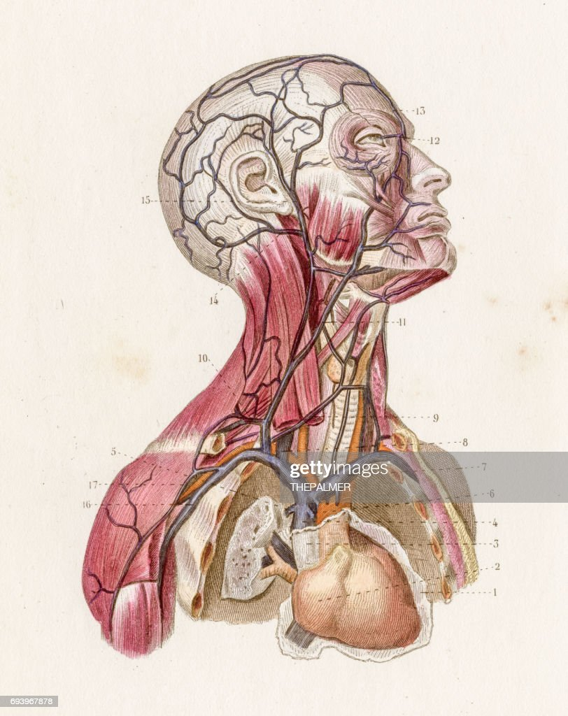 Veins Head And Neck Anatomy Engraving 1886 Stock Illustration
