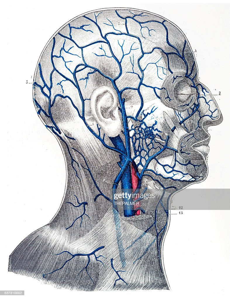 Veins Of The Cranium And Face Engraving 1894 Stock Illustration