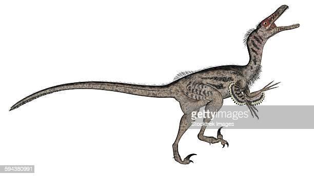 velociraptor dinosaur roaring, white background. - dromaeosauridae stock illustrations