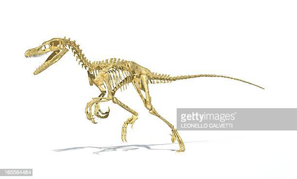Velociraptor dinosaur skeleton, artwork