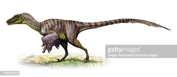 velociraptor mongoliensis, a prehistoric era dinosaur fromthe cretaceous period. - dromaeosauridae stock illustrations