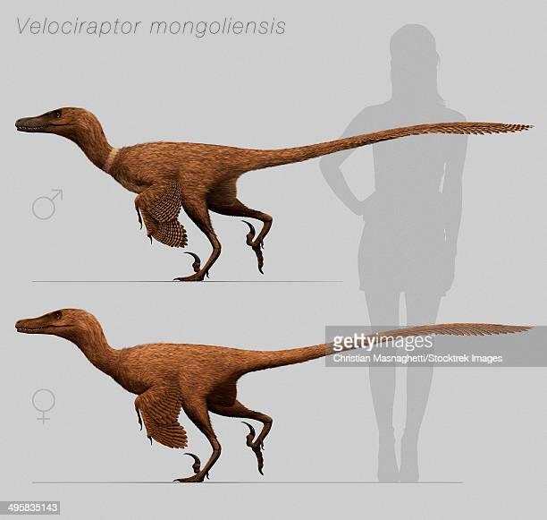 velociraptor mongoliensis, mid-sized (2m long, 15kg) dromaeosaurid dinosaur from the late cretaceous of mongolia. - velociraptor stock illustrations