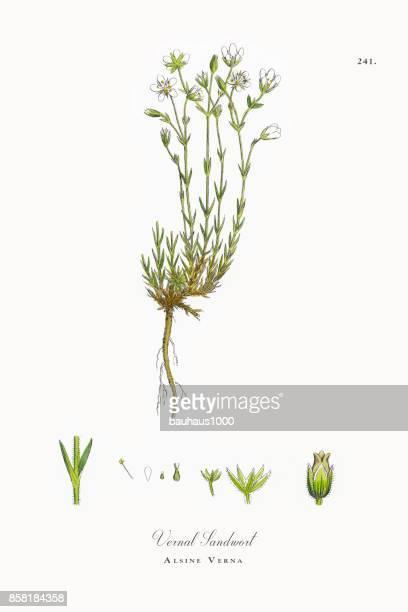 ilustrações, clipart, desenhos animados e ícones de vernal sandwort, alsine verna, ilustração botânica vitoriana, 1863 - chickweed