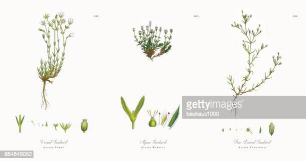 vernal sandwort, alsine verna, victorian botanical illustration, 1863 - sandwort stock illustrations, clip art, cartoons, & icons