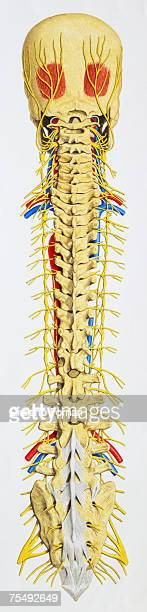 vertebral column - central nervous system stock illustrations, clip art, cartoons, & icons