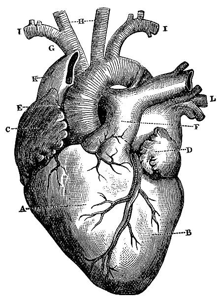 xxxl very detailed human heart - human body part stock illustrations