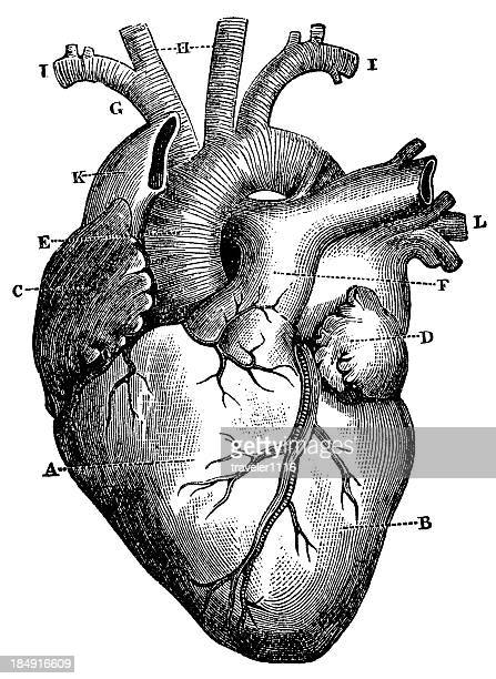 xxxl very detailed human heart - antique stock illustrations
