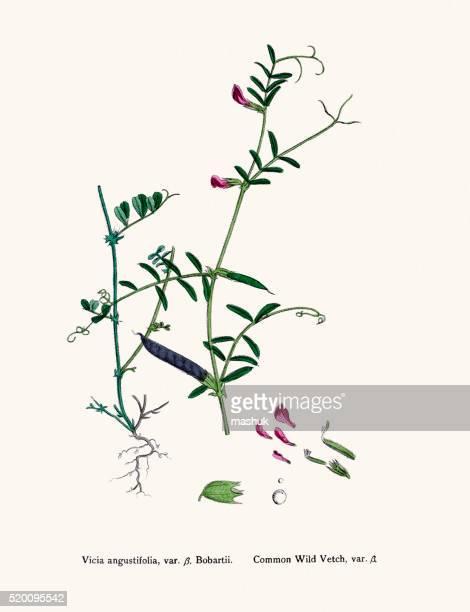 vetch plant 19th century illustration - broad bean stock illustrations, clip art, cartoons, & icons