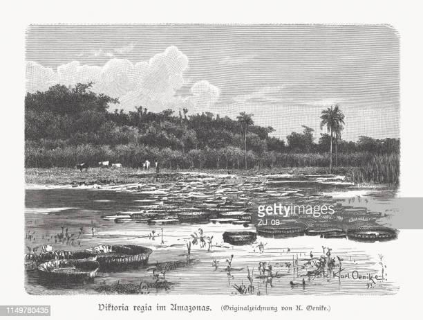 ilustraciones, imágenes clip art, dibujos animados e iconos de stock de victoria amazonica, río amazonas, brasil, grabado en madera, publicado en 1897 - río amazonas