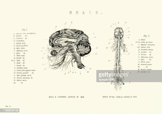 脳と脊髄、神経のビクトリア朝の解剖図 - 人体図点のイラスト素材/クリップアート素材/マンガ素材/アイコン素材