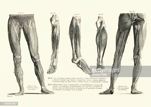 victorian anatomical drawing muscles of the human leg, 19th century - limb body part stock illustrations