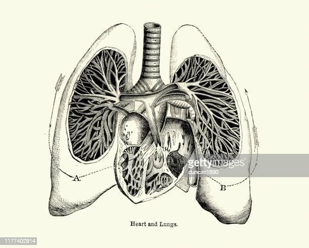 19世紀の人間の心臓と肺のビクトリア朝の解剖図 - 人体図点のイラスト素材/クリップアート素材/マンガ素材/アイコン素材