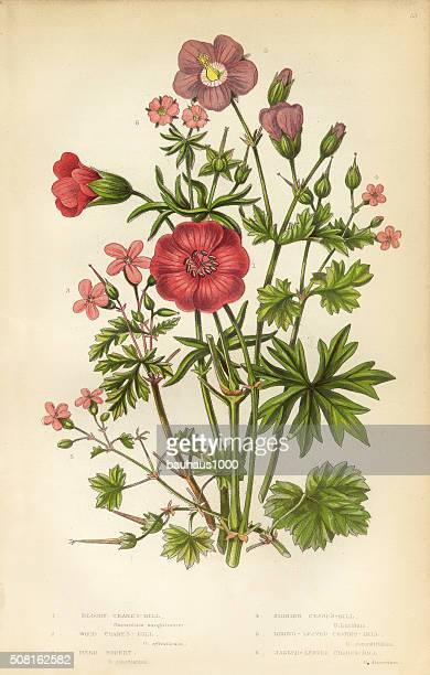 bildbanksillustrationer, clip art samt tecknat material och ikoner med victorian botanical illustration: cranesbill and geranium - midsommarblomster