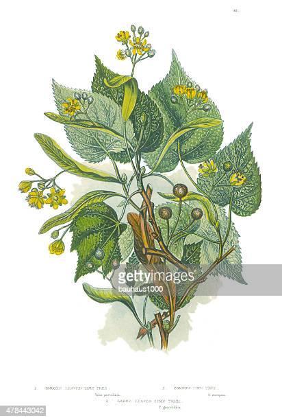 ビクトリア様式の植物、ライムツリーのイラストレーション