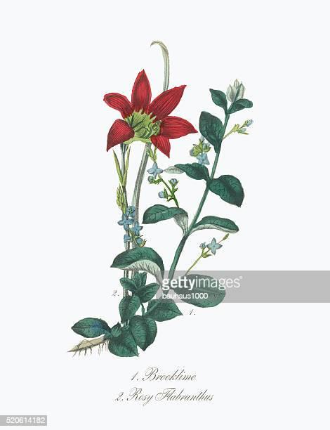 ビクトリアの植物のイラストレーション Brooklime とローズ Flabranthus