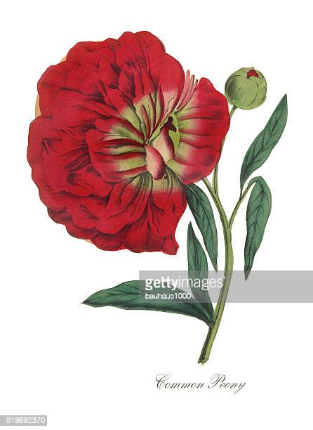 Victorian Botanical Illustration of Common Peony
