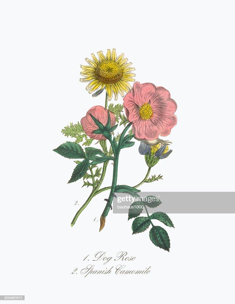 Victoriana Botánico ilustración de navidad de rosa y español Manzanilla : Ilustración de stock