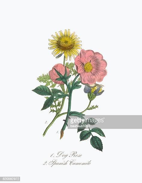 ilustraciones, imágenes clip art, dibujos animados e iconos de stock de victoriana botánico ilustración de navidad de rosa y español manzanilla - planta de manzanilla