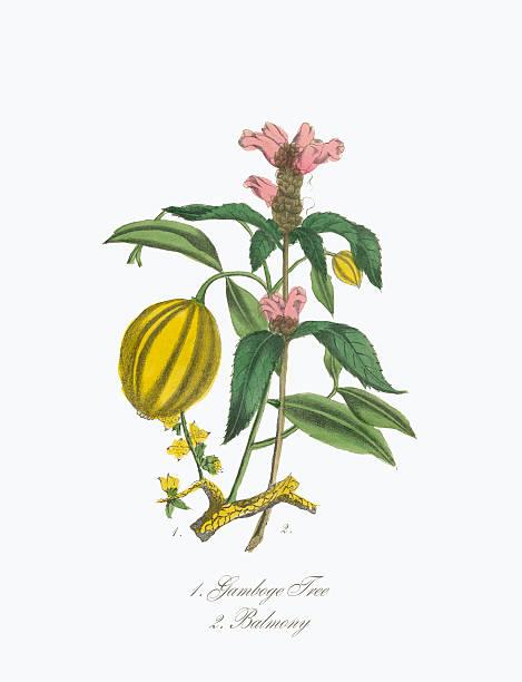 Victorian Botanical Illustration Of Gamboge Tree And Balmony Wall Art
