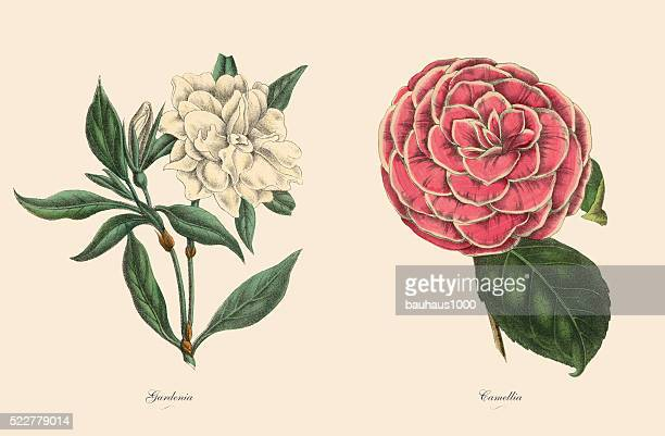 ilustraciones, imágenes clip art, dibujos animados e iconos de stock de victoriana botánico ilustración de gardenia y camelia plantas - botánica