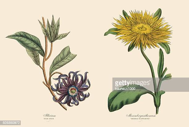 Victorian Botanical Illustration of Illicium and Mesembryanthemum Plants