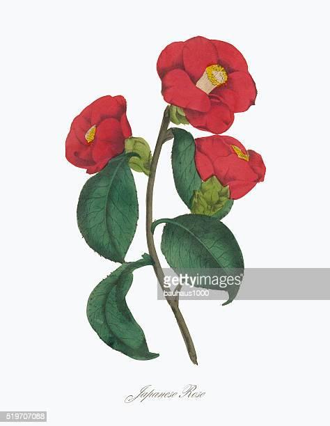 Victorian Botanical Illustration of Japanese Rose