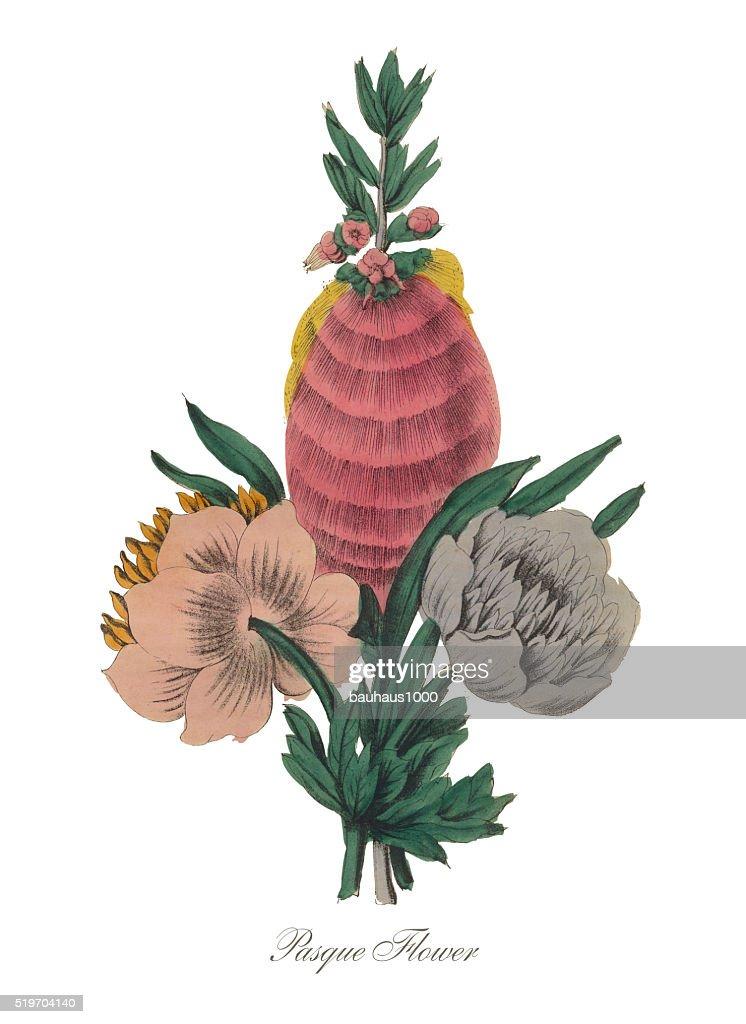 Victorian Botanical Illustration Of Pasque Flower Stock