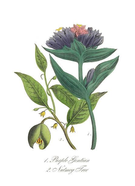 Victorian Botanical Illustration Of Purple Gentian And Nutmeg Tree Wall Art