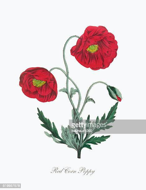 victorian botanical illustration of red corn poppy - poppy stock illustrations, clip art, cartoons, & icons