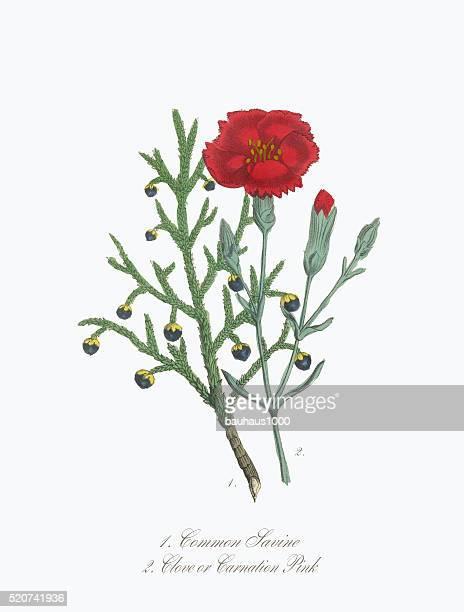 victorian botanical illustration of savine and clove or carnation - carnation flower stock illustrations, clip art, cartoons, & icons