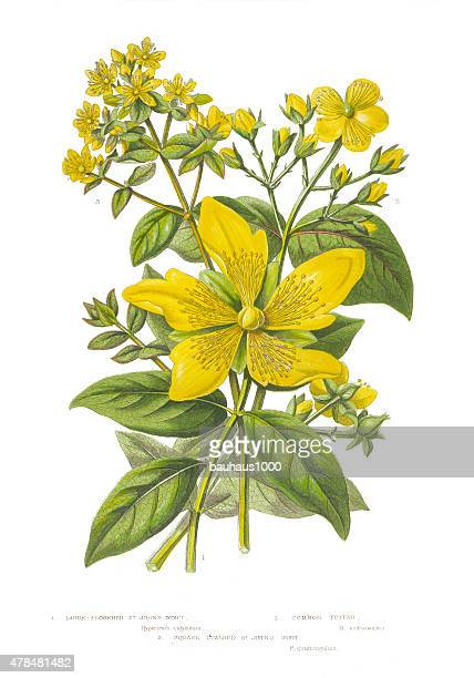 ilustraciones, imágenes clip art, dibujos animados e iconos de stock de victorian botanical ilustración de st. john's wort - enfermedad de la piel