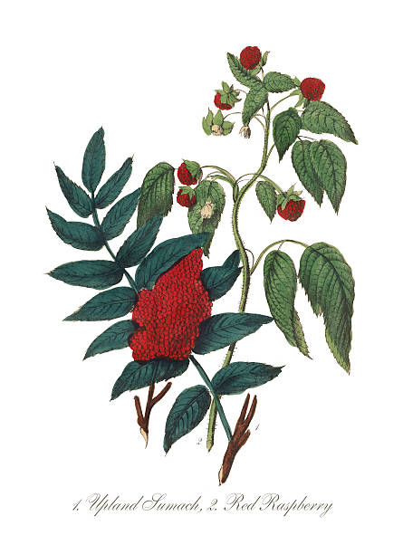 Victorian Botanical Illustration Of Upland Sumach And Red Raspberry Wall Art