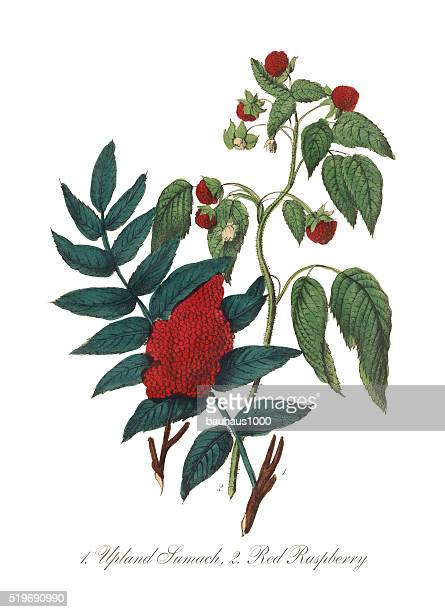 victorian botanical illustration of upland sumach and red raspberry - raspberry stock illustrations, clip art, cartoons, & icons