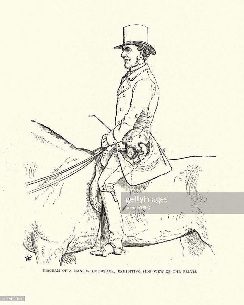 Victorian Diagram Man On Horseback Showing Sideview Of The Pelvis ...